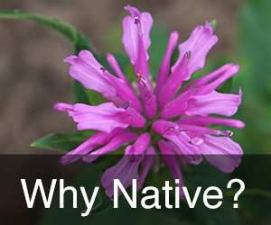 Why Use Native Plants?